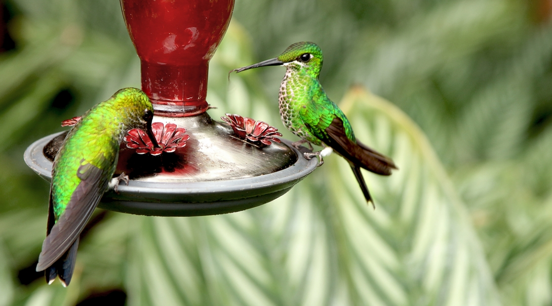Two humming birds drinking nectar at Projects Abroad's Conservation volunteer placement in Costa Rica.